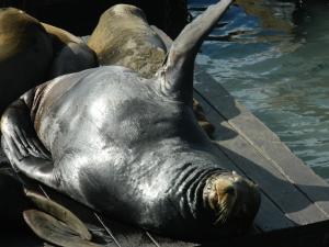 Sea Lion sunning himself at Pier 39